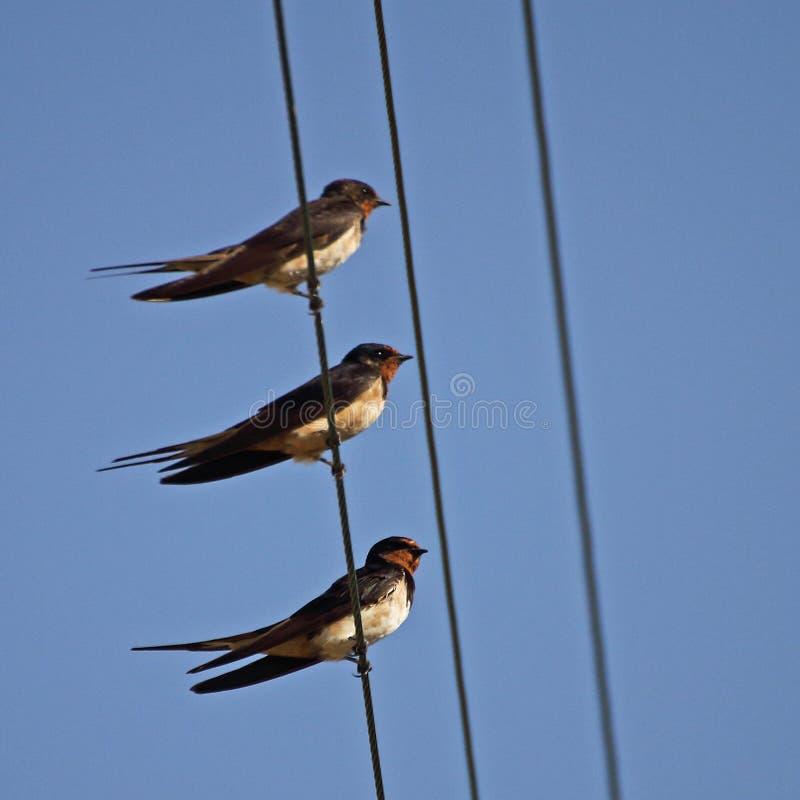 在电导线的燕子家庭 图库摄影