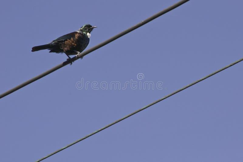 在电导线的Tui鸟 免版税库存图片