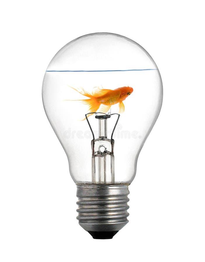 在电灯泡的金小鱼在白色 图库摄影