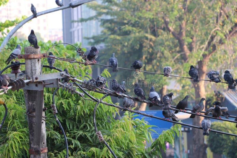 在电线和绿色树栖息的许多鸽子 免版税库存照片