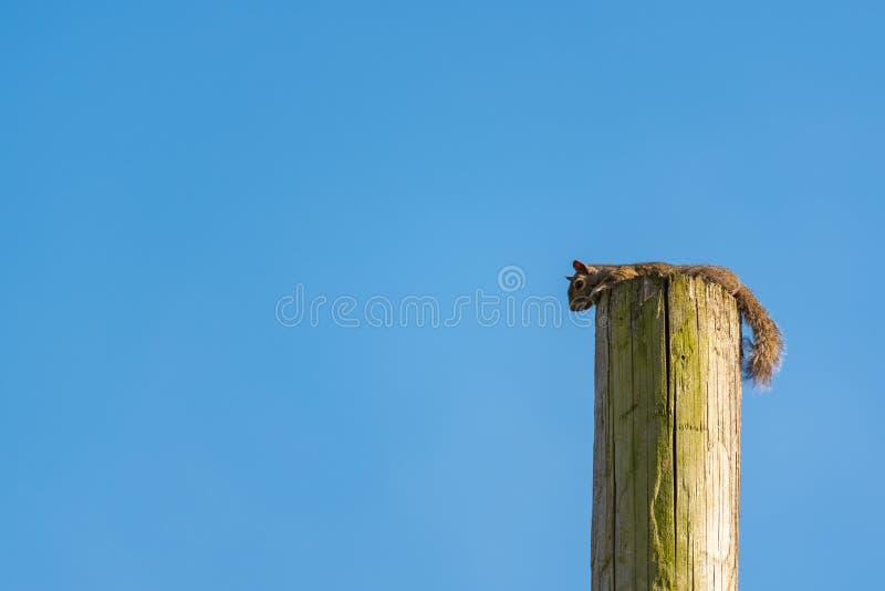 在电线杆的灰鼠 图库摄影