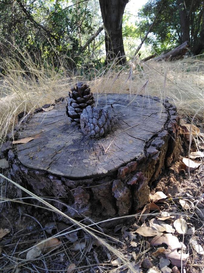 在男低音的杉木锥体在tuolumne河附近 库存图片