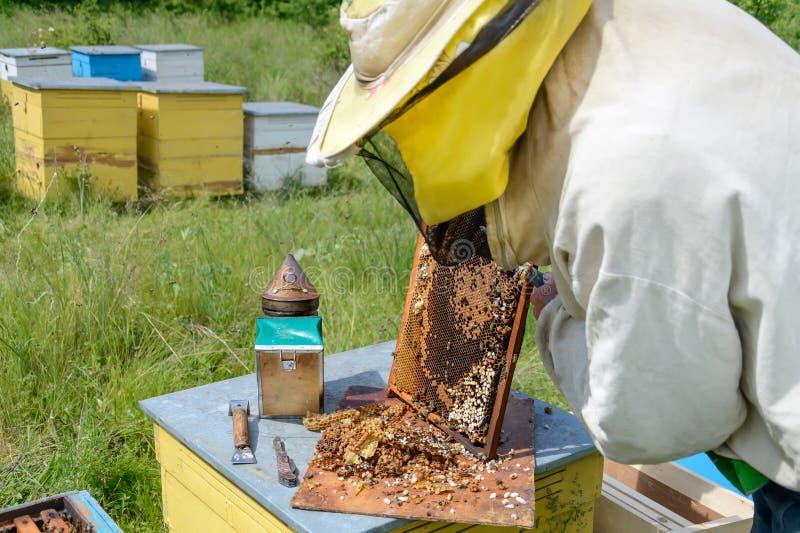在男性蜂之外幼虫的蜂农裁减  养蜂 库存照片