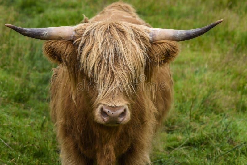 在画象的高地牛吃草在一个绿色牧场地,在高地的逗人喜爱的母牛,苏格兰,英国的 库存图片