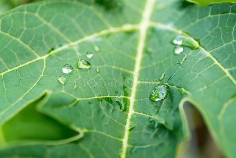 在番木瓜叶子的水 免版税库存图片