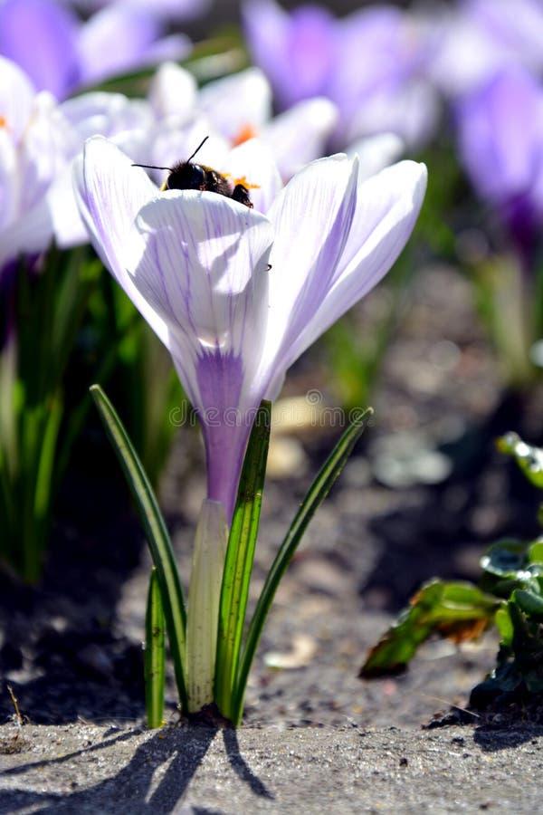 在番红花的土蜂 免版税库存照片
