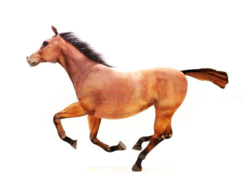 在疾驰的马在一个空白背景。 皇族释放例证