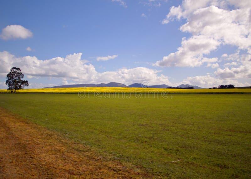 在登上巴克,西南区澳大利亚阿尔巴尼,丹麦地区的油菜或强奸领域  免版税库存图片