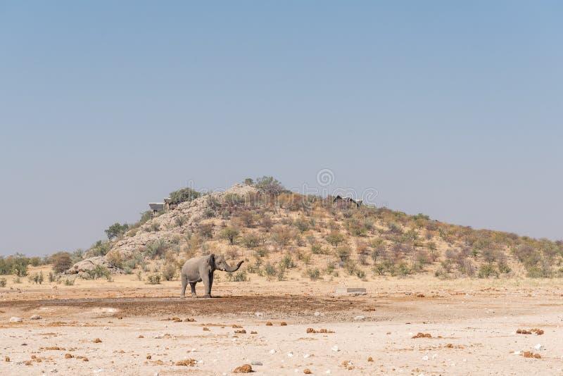 在白云岩waterhole的非洲大象与后边休宿所 库存照片