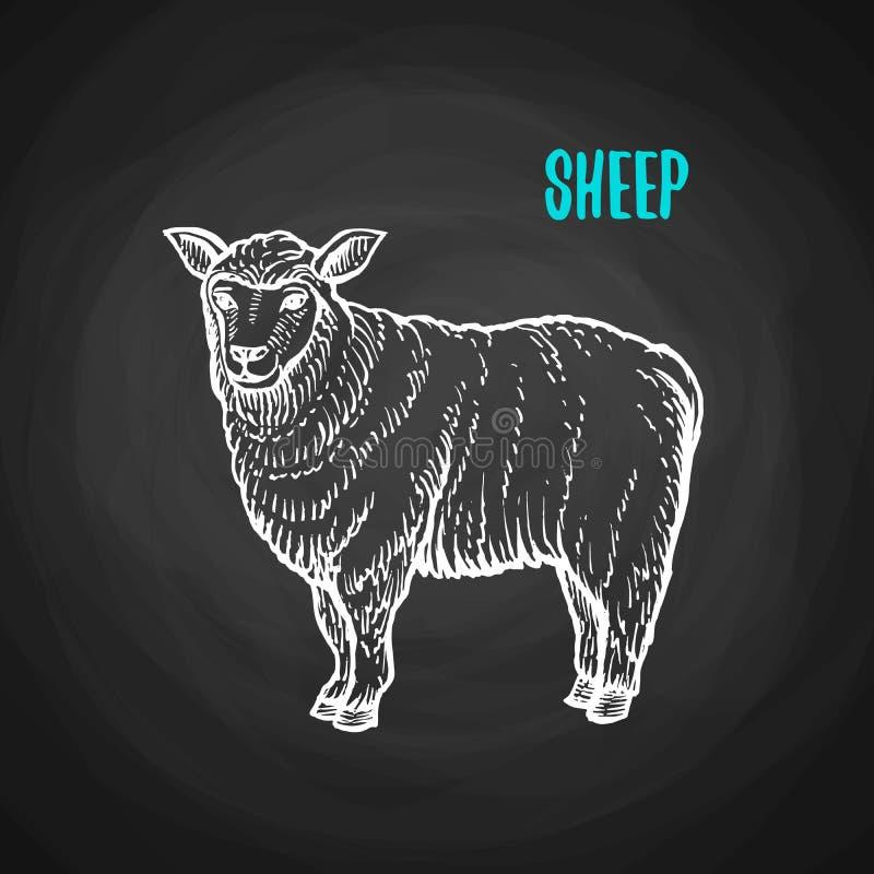 在白垩样式的动物绵羊在黑板 皇族释放例证