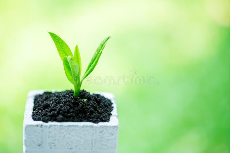 在白方块花盆的幼木和丰盈土壤有与太阳光的模糊的绿色背景 免版税库存图片