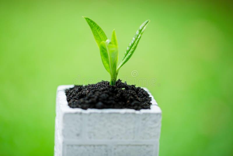在白方块花盆的幼木和丰盈土壤有与太阳光的模糊的绿色背景 免版税库存照片