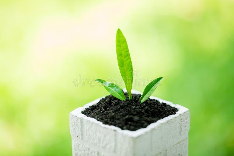 在白方块花盆的幼木和丰盈土壤有与太阳光的模糊的绿色背景 免版税图库摄影