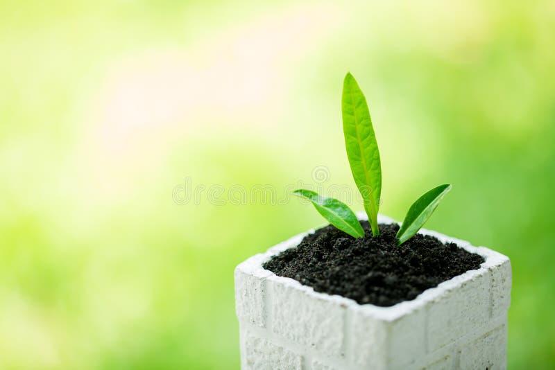 在白方块花盆的幼木和丰盈土壤有与太阳光的模糊的绿色背景 库存照片