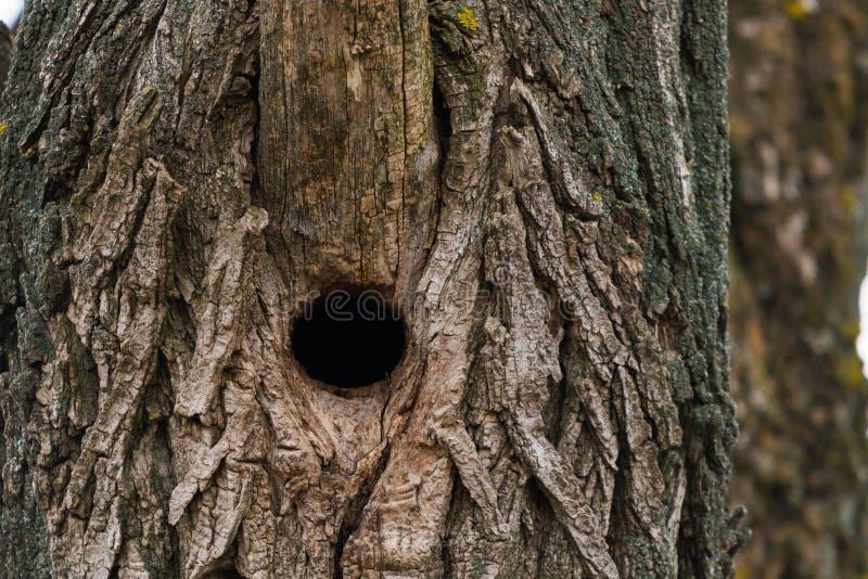 在白杨木树干的啄木鸟凹陷 免版税库存照片