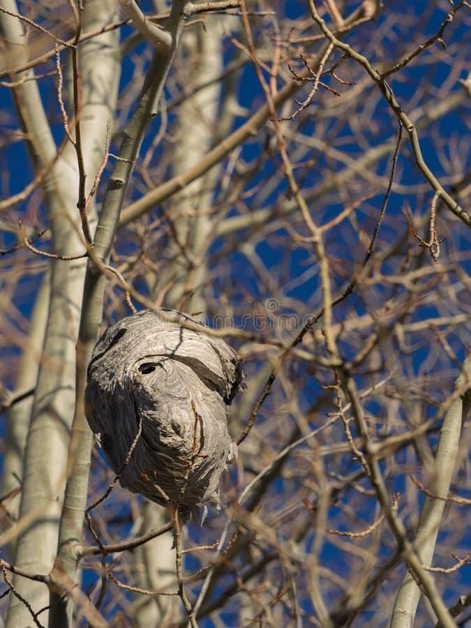 在白杨木树的黄蜂巢 免版税库存照片