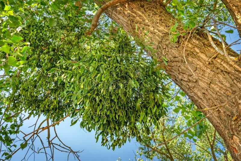在白杨树分支的槲寄生或槲寄生虫册页 免版税库存图片