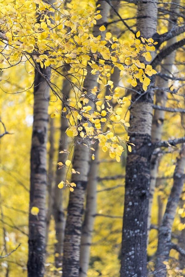在白桦叶子的秋天颜色  免版税库存图片