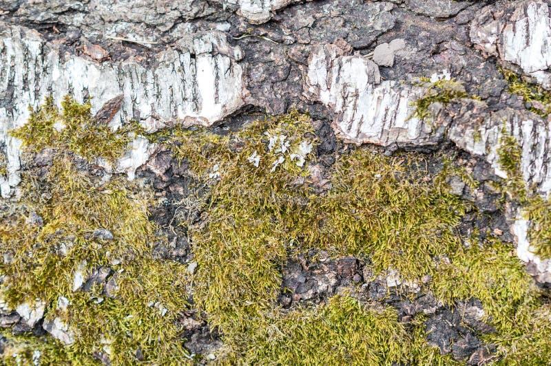 在白桦树皮的绿色青苔 库存照片