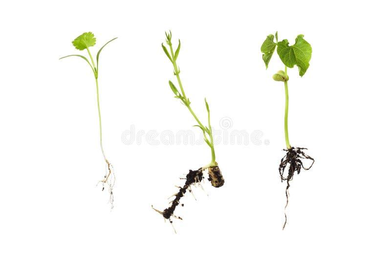 在白的蚕豆隔绝的三粒豆的萌芽;corian 库存图片