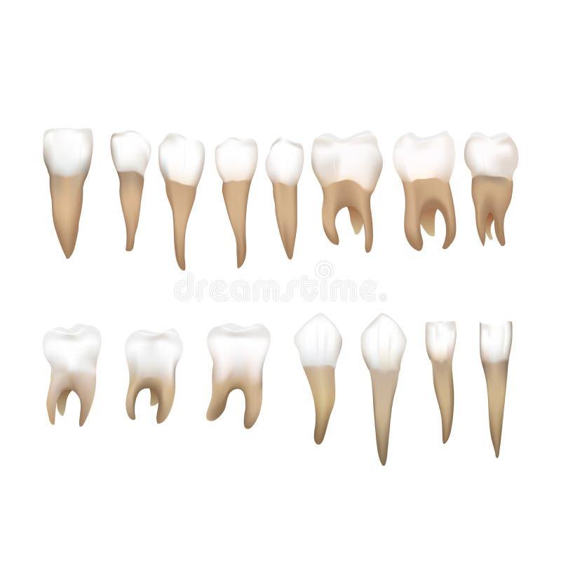 在白色不同的现实人的teeths隔绝的大套 库存例证