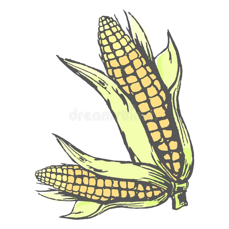 在白色五颜六色的图表海报的两根玉米棒子 皇族释放例证
