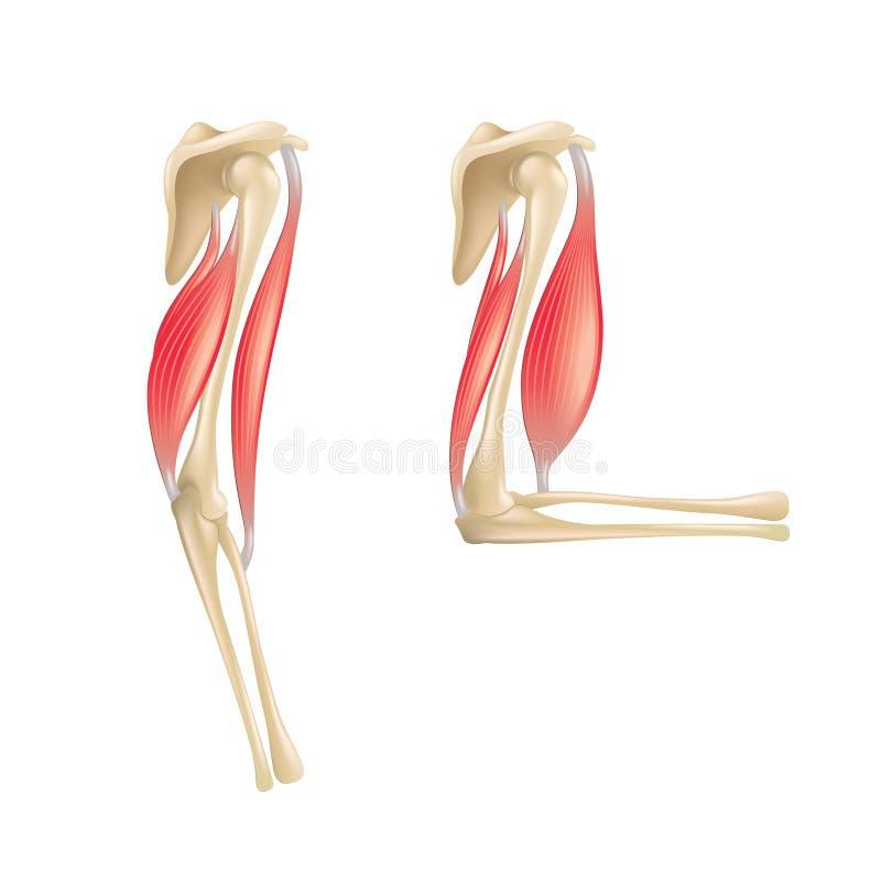 在白色传染媒介隔绝的肘关节解剖学 皇族释放例证