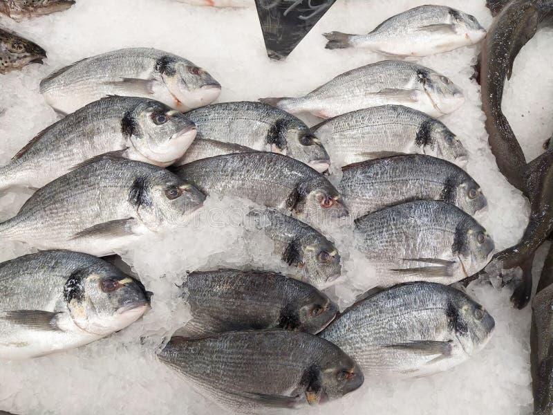 在白色冰背景的许多新鲜的未加工的Dorada鱼 健康食品概念,顶视图 库存图片