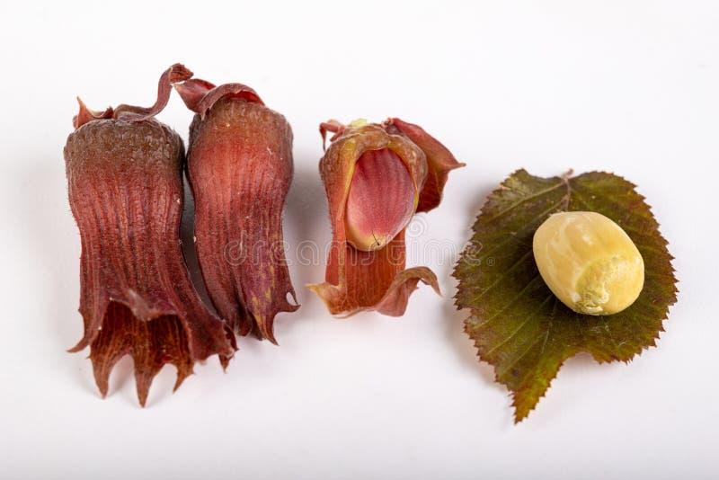 在白色厨房用桌上的新鲜的未成熟的榛子 黑暗的淡褐灌木果子和叶子  免版税图库摄影