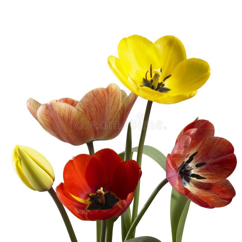 在白色后面的郁金香花 库存照片