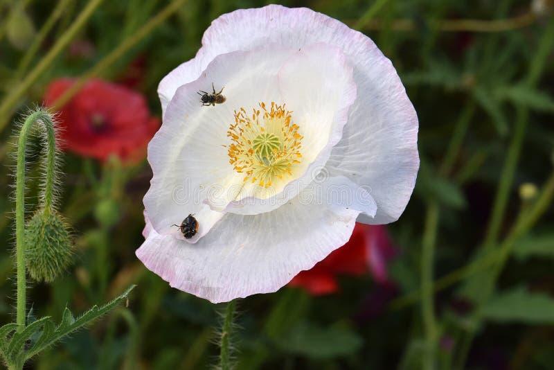 在白色和平鸦片下落的瓢虫 图库摄影