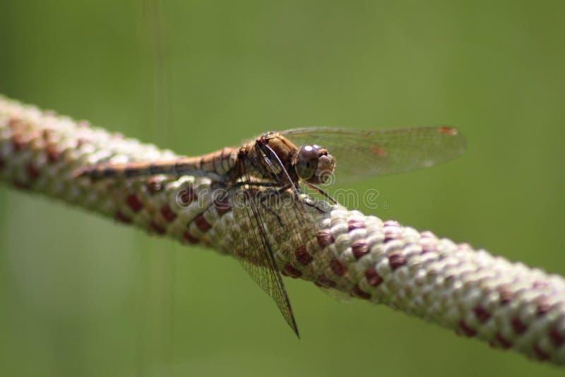 在白色和红色绳索的布朗蜻蜓 免版税库存图片