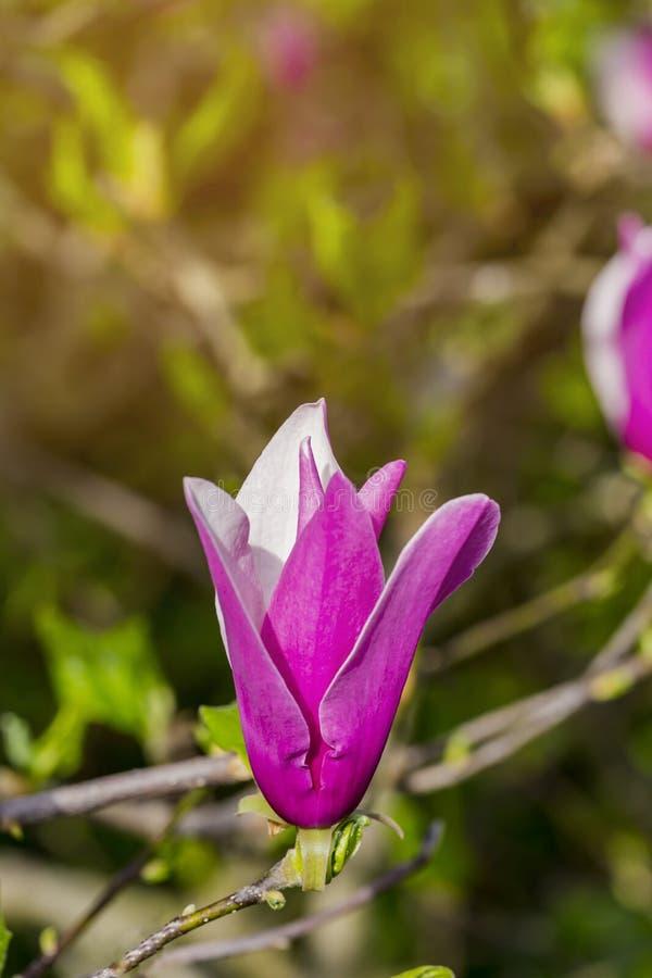 在白色和margenta颜色的木兰花在树,瑞士 免版税库存照片