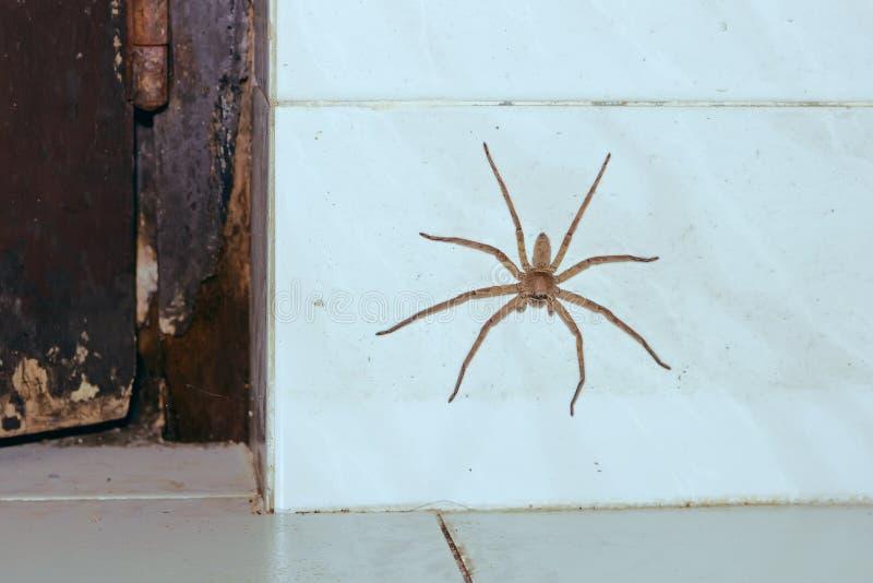 在白色墙壁上的巨大的房子蜘蛛 免版税库存图片