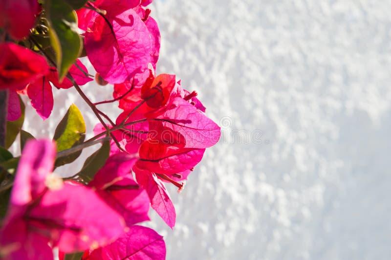 在白色墙壁上的桃红色花 图库摄影