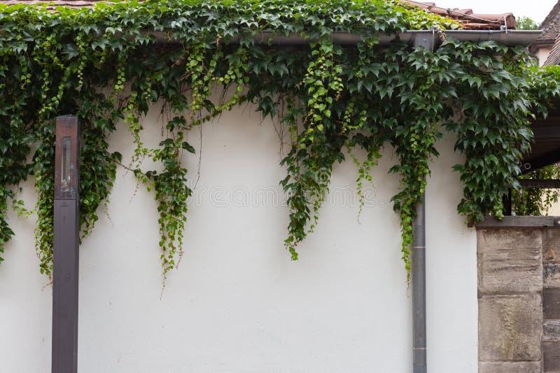在白色墙壁上的绿色常春藤 免版税图库摄影