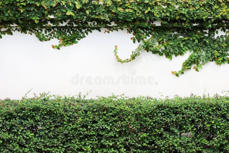 在白色墙壁上的绿色爬行物植物 库存照片