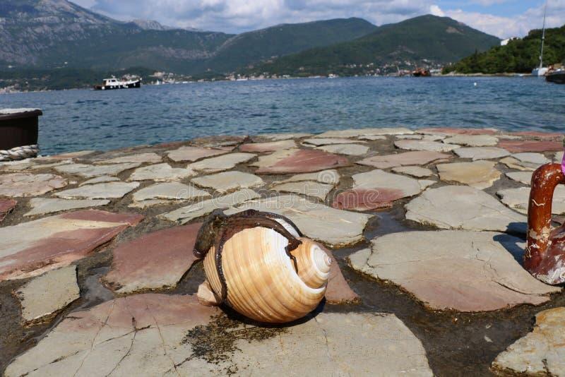 在白色壳的章鱼 免版税库存图片