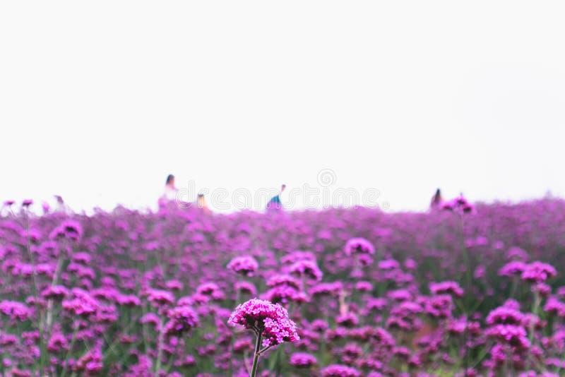 在白色天空背景的开花的马鞭草属植物领域 库存照片
