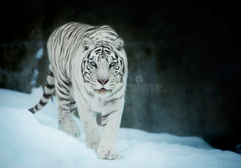 在白色孟加拉老虎的眼睛的注意,走在新鲜的雪 库存图片