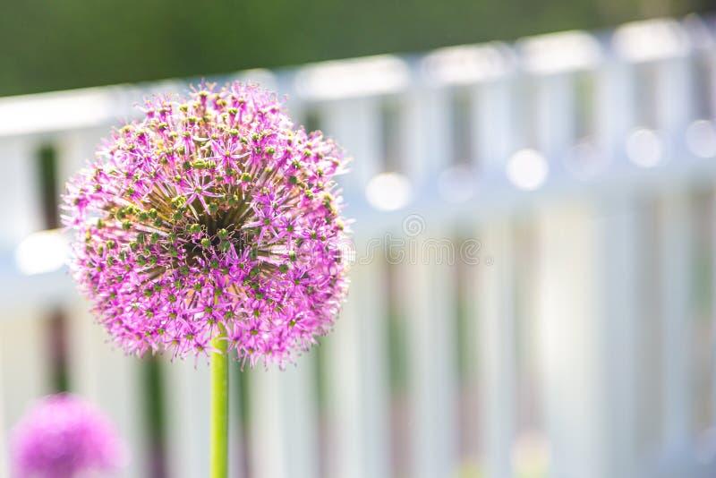 在白色尖桩篱栅前面的大紫色葱属花 库存照片