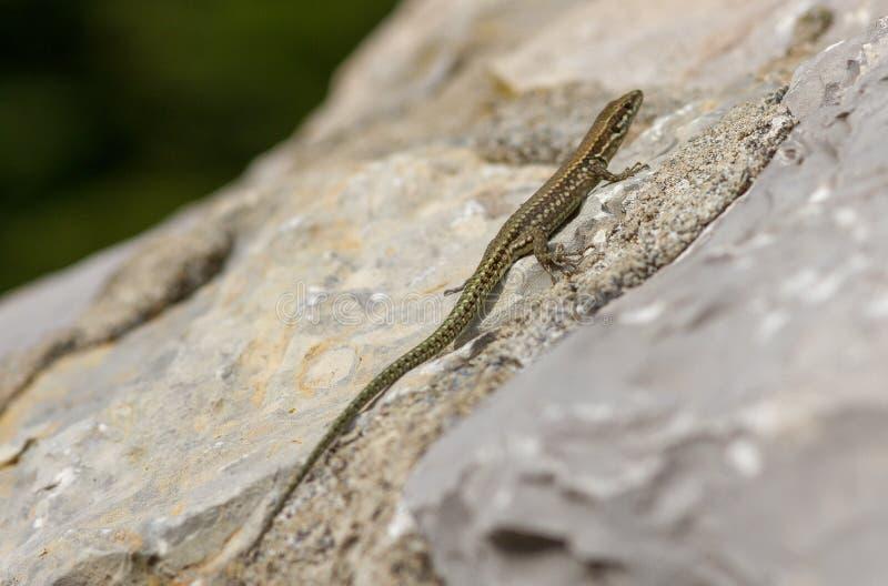 在白色岩石的蜥蜴 免版税库存照片