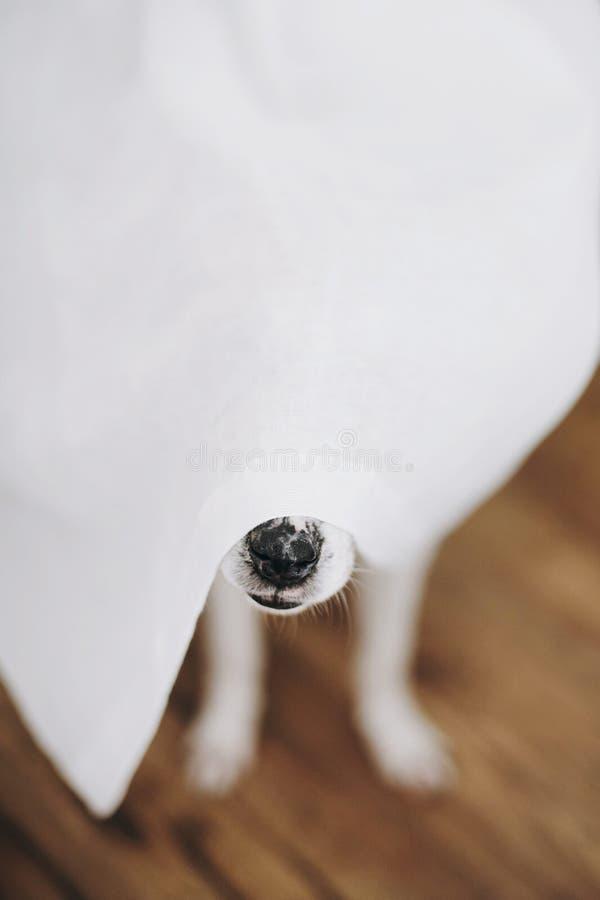在白色帷幕下的巨鼻在窗口在家 逗人喜爱的滑稽的狗掩藏在帷幕下的,好奇黑鼻子关闭  复制空间 免版税库存图片