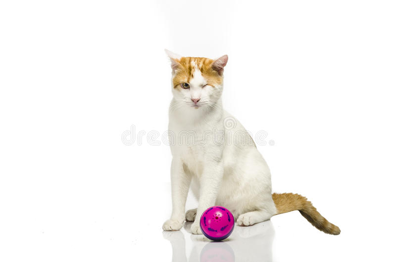 在白色无缝的白色和橙色欧洲shorthair猫就座与紫色球 免版税库存照片