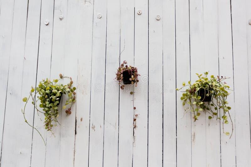 在白色木墙壁,minimalistic自然花卉背景上的盆的植物 免版税图库摄影