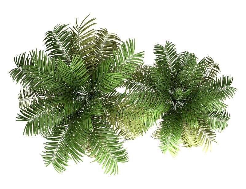 在白色查出的二棵槟榔树棕榈树顶视图  库存例证