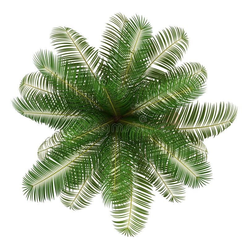 在白色查出的可可椰子结构树顶视图  库存例证