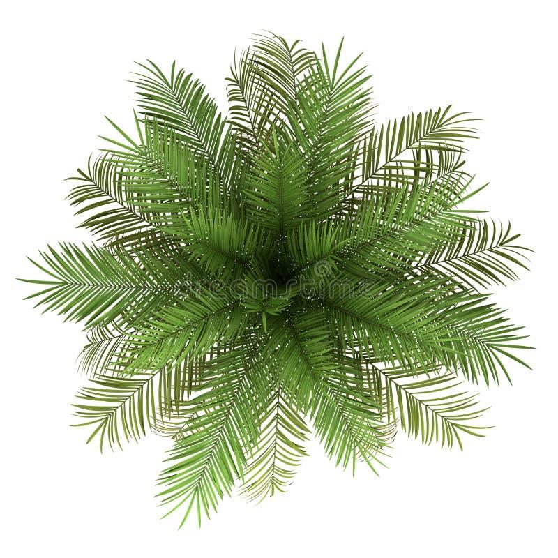 在白色查出的枣椰子结构树顶视图  皇族释放例证