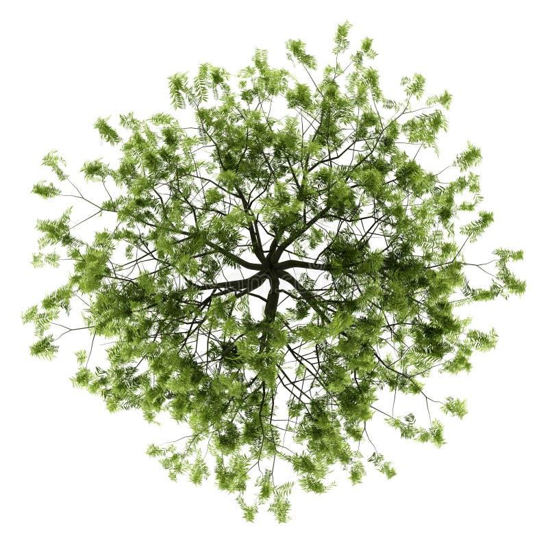 在白色查出的柳树顶视图 库存例证