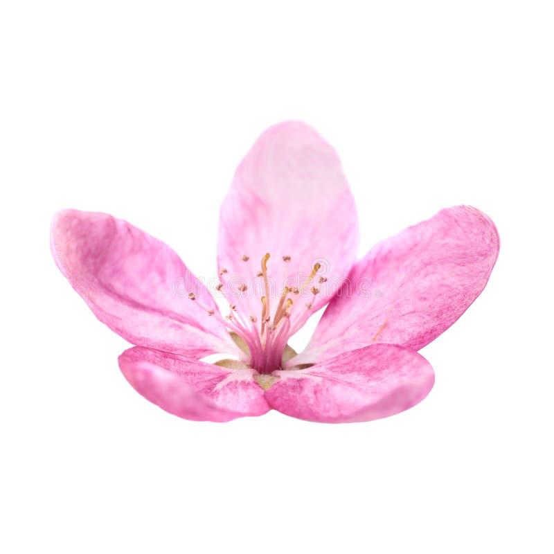 在白色查出的桃红色花 图库摄影